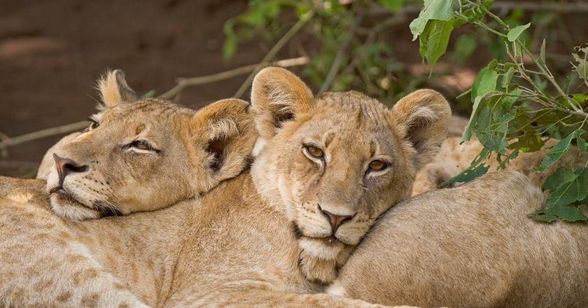 Lions in the wild | © Marion Burger Endangered Wildlife Trust