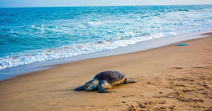 Olive Ridley Turtles | ©Pinku Haldar/WikiCommons