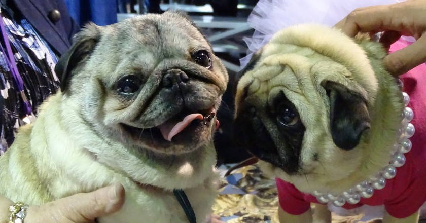 The Westminster Kennel Club Dog Show in Photos