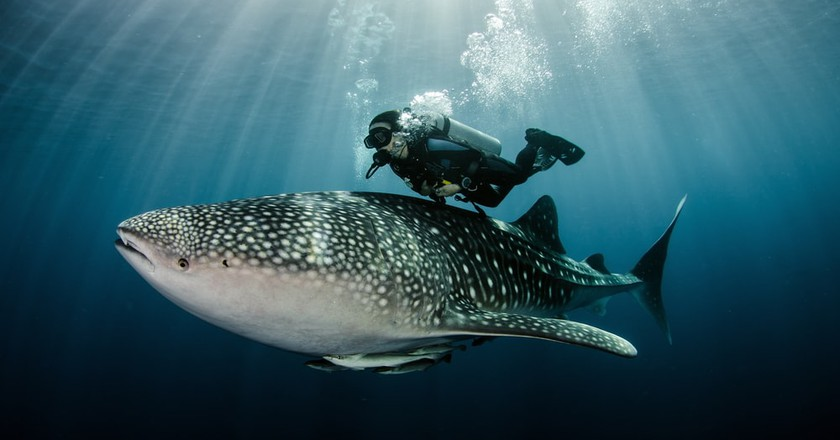 Diving with whale sharks at Ningaloo Reef |© Tomas Kotouc / Shutterstock
