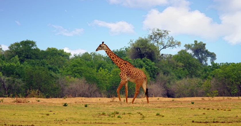 Thornicroft giraffe   © Paula French / Shutterstock