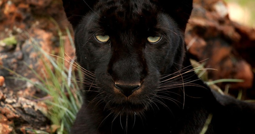 Could a black panther be the infamous Beast of Barford?