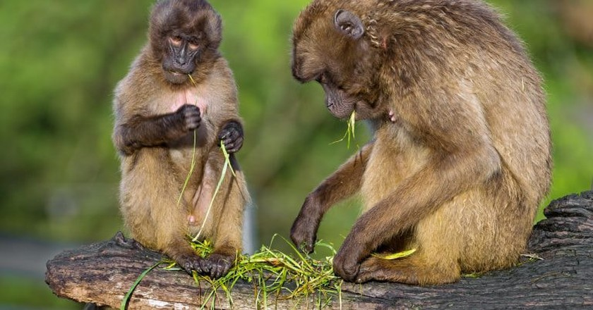 The Gelada baboons are endemic to the Semien Mountains in Ethiopia