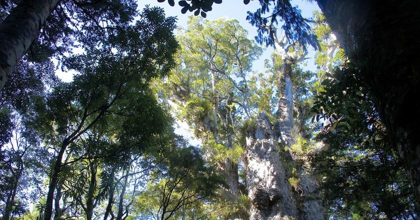 Kauri trees | © itravelNZ / Flickr