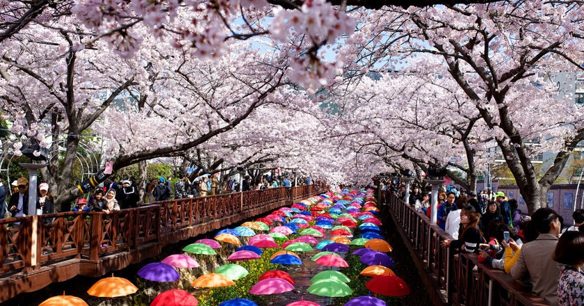 Jinhae's cherry blossoms are a sight to behold in spring   © Gadjo Dilo / Flickr