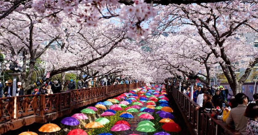 Jinhae's cherry blossoms are a sight to behold in spring | © Gadjo Dilo / Flickr