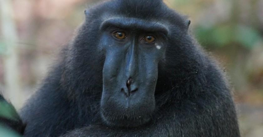Black macaque in Sulawesi, Indonesia   © Niek van Son/Flickr