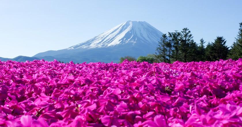 Shiba Sakura and Mt. Fuji