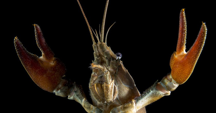Crayfish are taking over the world