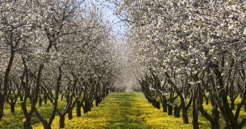 Michigan cherry blossoms