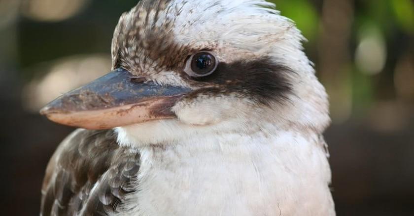 Up close to a kookaburra