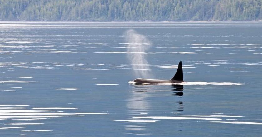 An orca whale