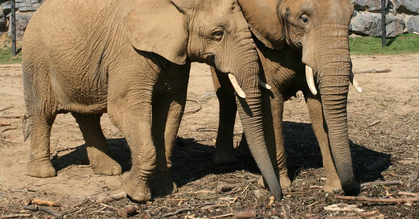 Some elephants are forced into lifelong labor