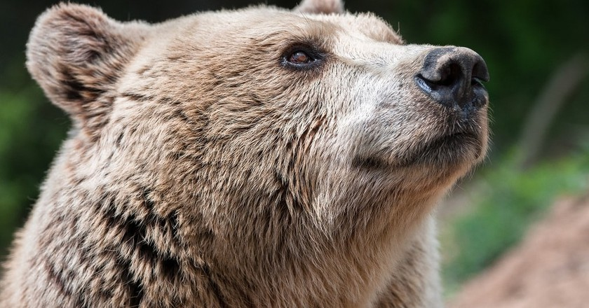 Switzerland will soon provide a sanctuary for five brown bears   © Arosa Tourismus
