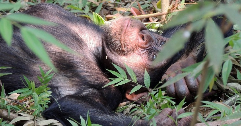 Happy and relaxed chimp
