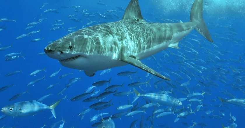 Great white shark | © Pterantula/Wikimedia Commons