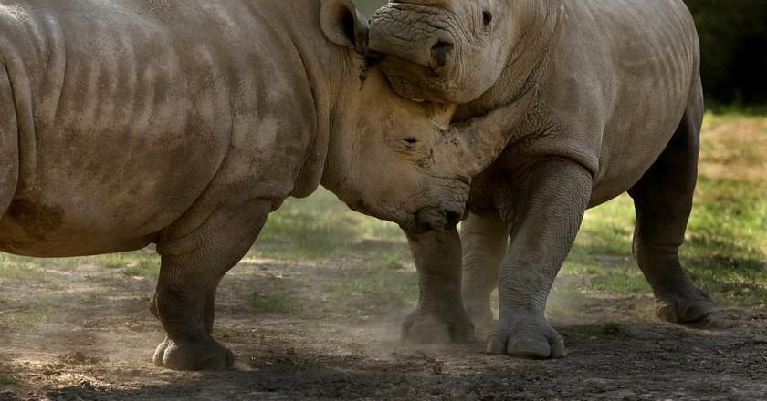 Rhinos at Safari West wildlife preserve in Santa Rosa, CA