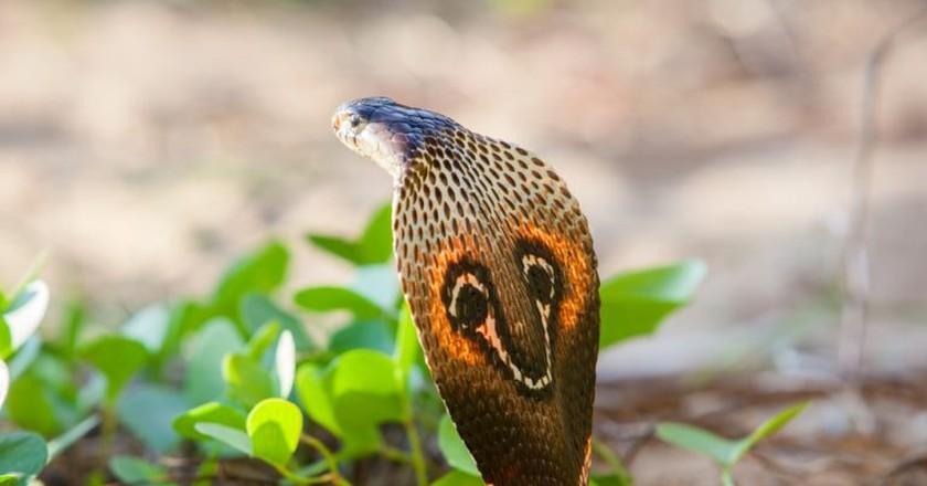 Cobra snake close-up, Sri Lanka | © Aleksandar Kamasi / Shutterstock