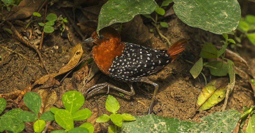 White-spotted flufftail