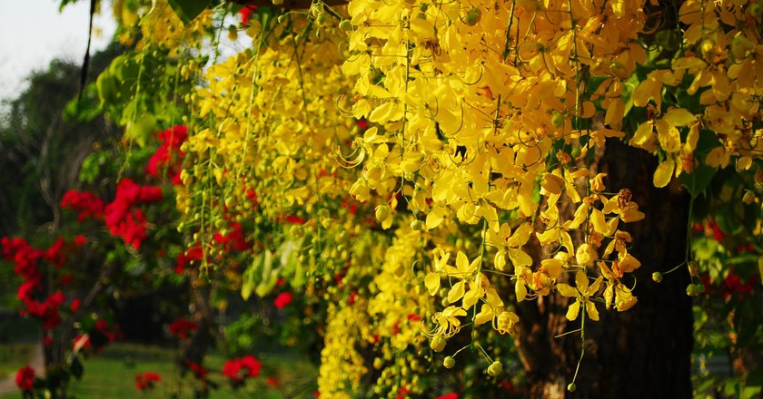 The bright yellow flowers of ratchaphruek | © Thanate Tan / Flickr