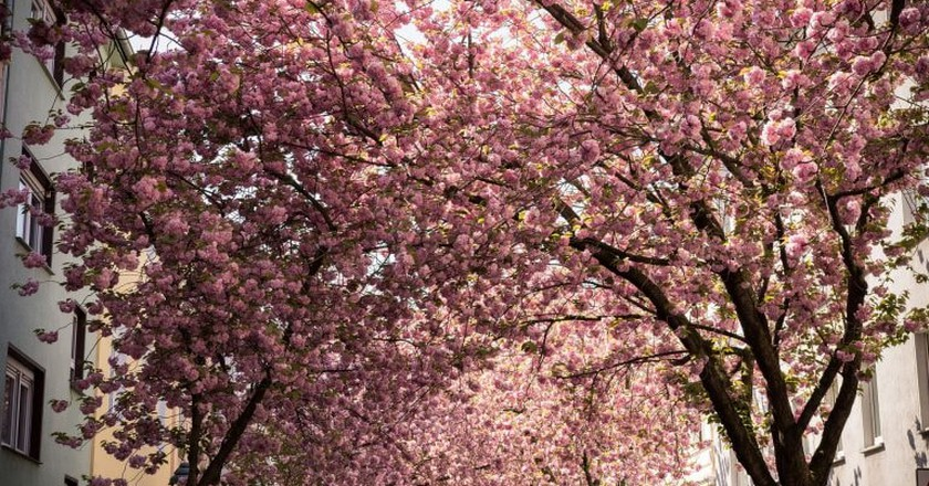 Beautiful blossoms in Bonn, Germany