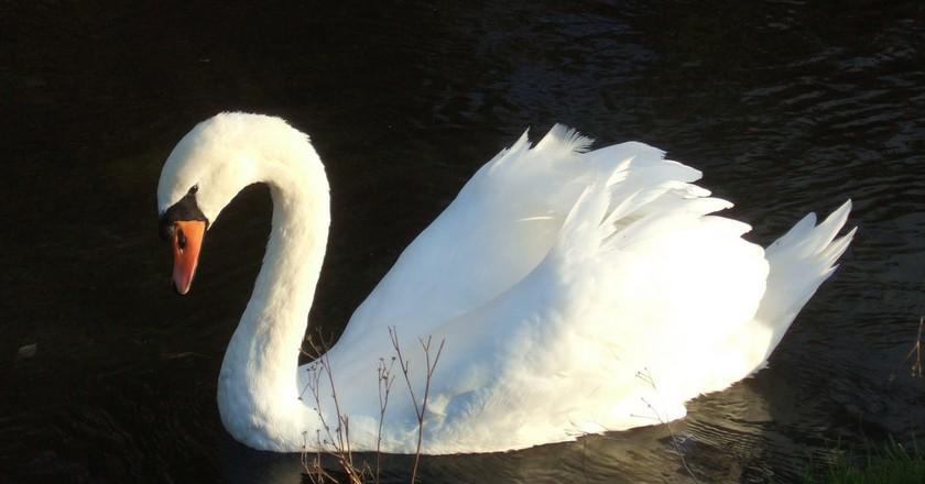 A swan in St Cross, England