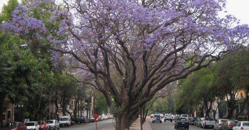 Jacarandas blooming in Mexico City