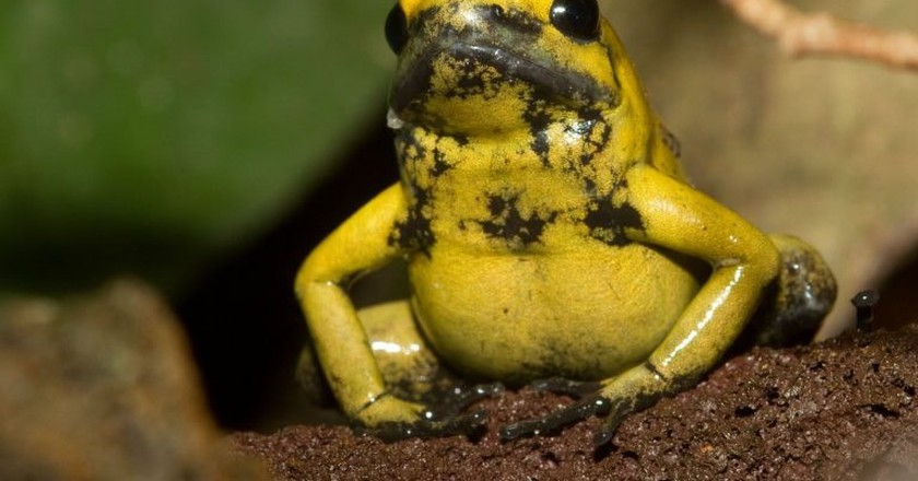 Poisonous frog in Colombia