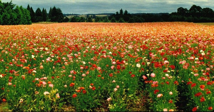 Poppies in