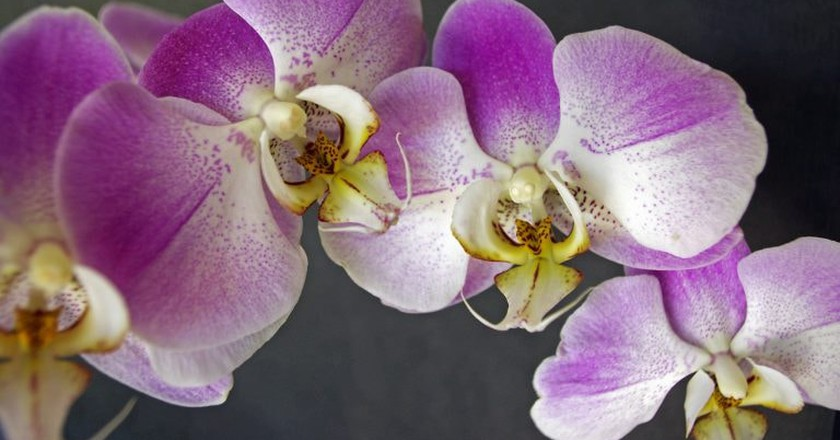 Orchids are abundant in Thailand | © Ron Frazier / Flickr