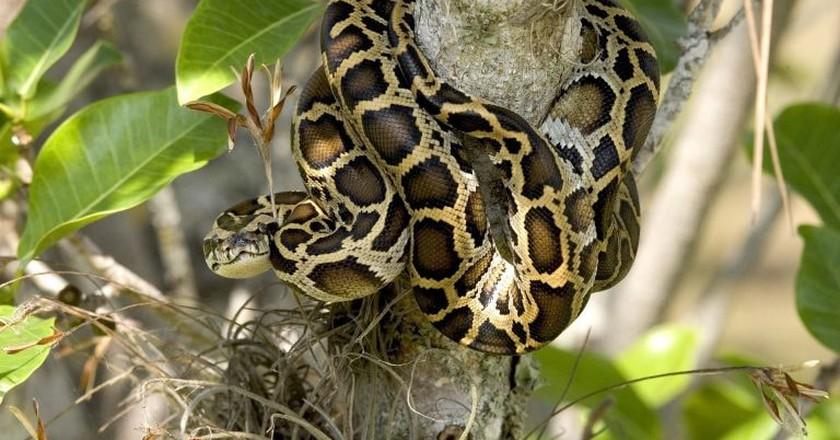 A Burmese Python in Everglades National Park | Public Domain / Pixabay