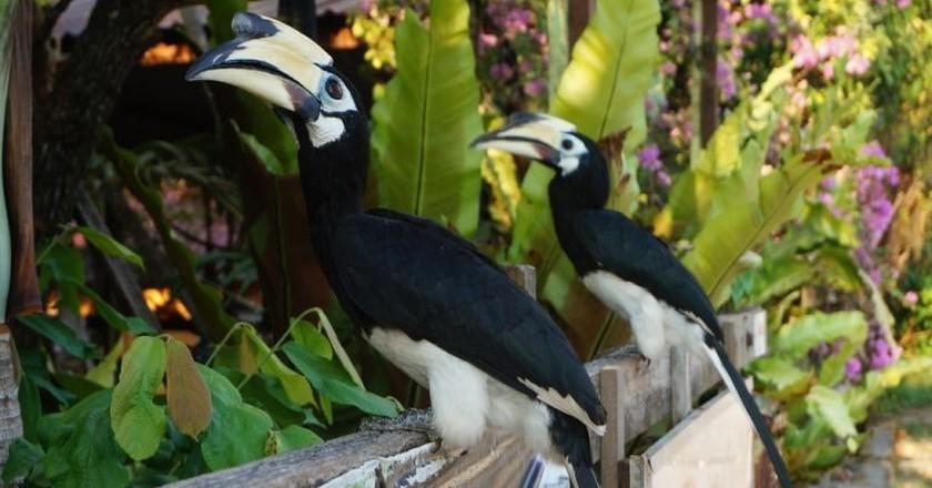 Oriental Pied hornbills in Pangkor Island, Malaysia