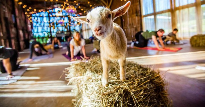 Goat Yoga is Coming to Brooklyn This Spring
