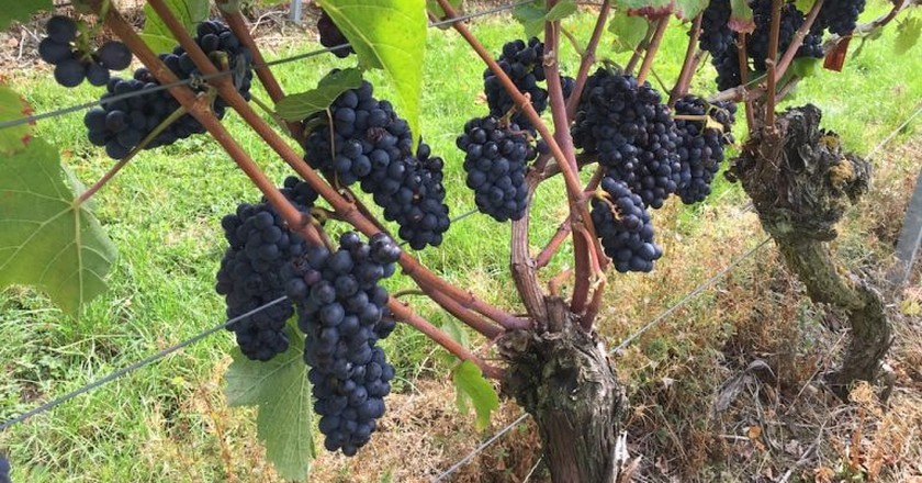 Wine grapes from the Lake Constance region
