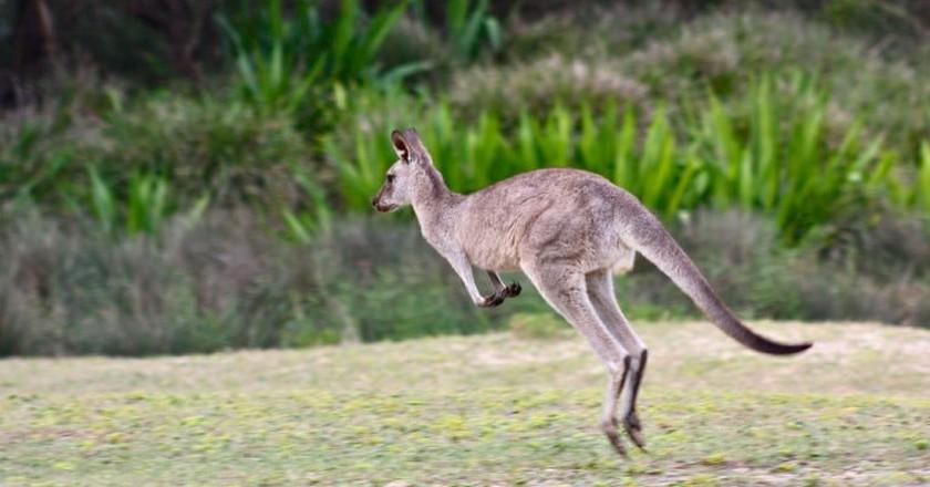Kangaroo on Pebbly Beach