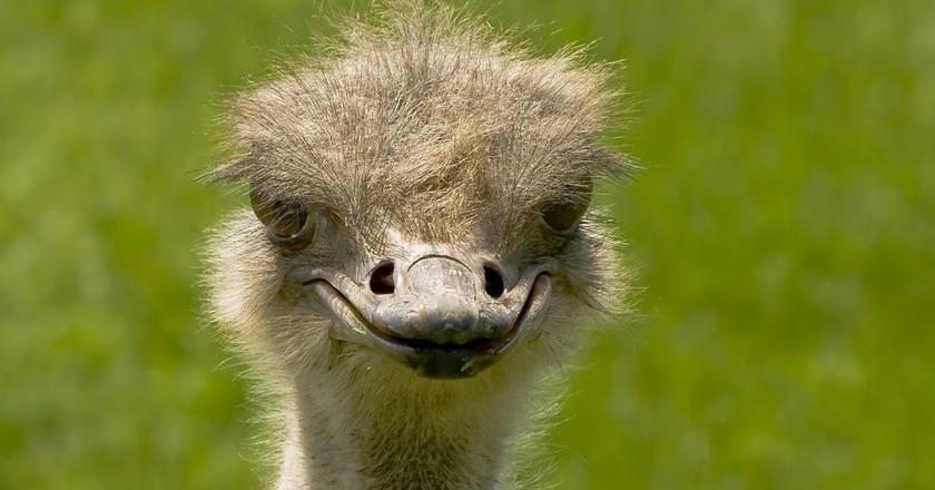 An innocent looking ostrich