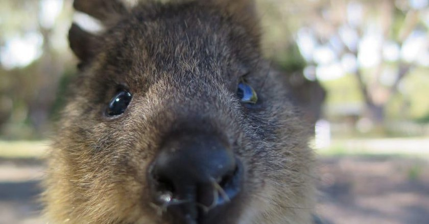 Quokka up close