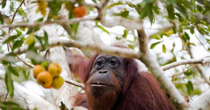 A female orangutan in Borneo