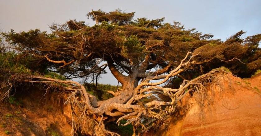 Kalaloch Tree of Life