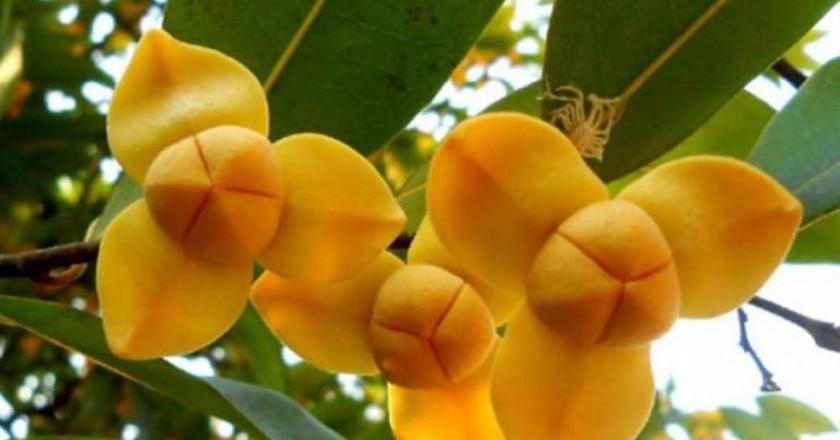 Rumduol is Cambodia's national flower