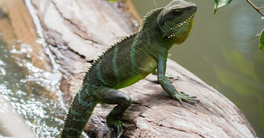 Lizard in Khao Yai National Park, Nakhon Ratchasima