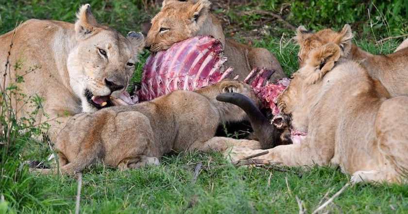 Lions eating prey