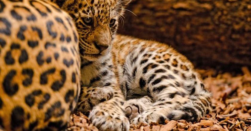 Baby and mother jaguar