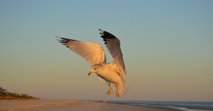 Bird Flying on Hilton Head Beach
