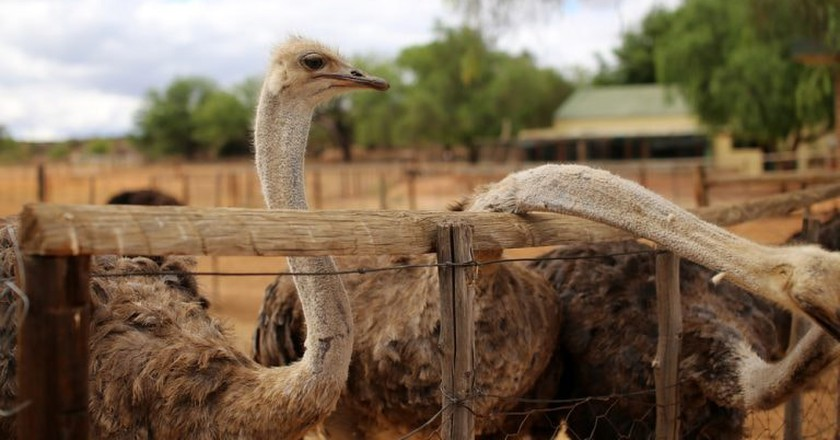 Ostrich in Oudtshoorn, South Africa