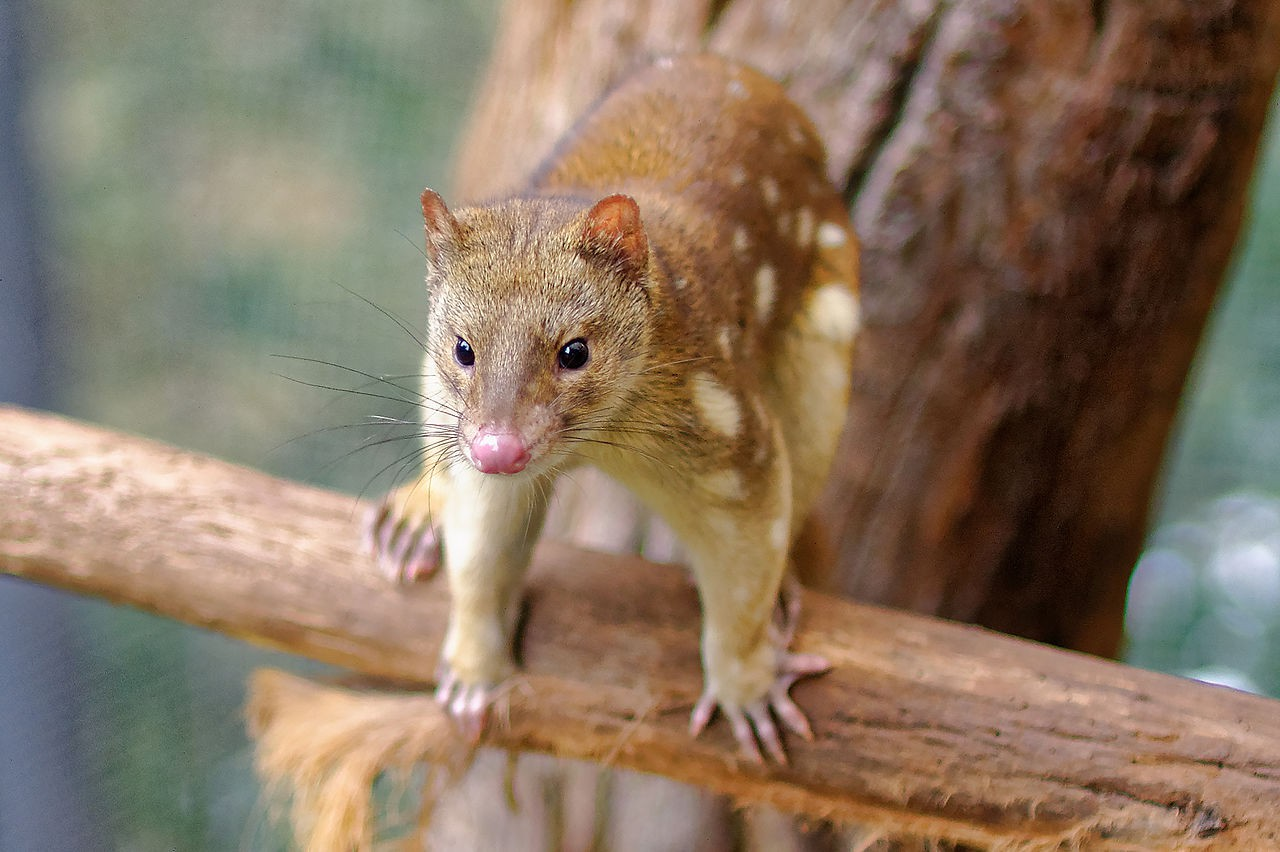11 Incredible Australian Animals You Havent Heard Of How To Build Nocturnal Whisker