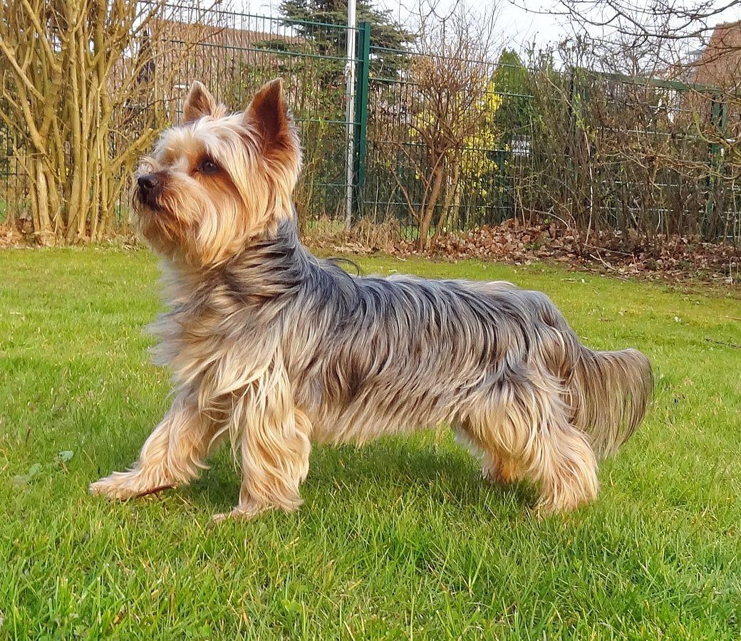 yorkshire-terrier.jpg