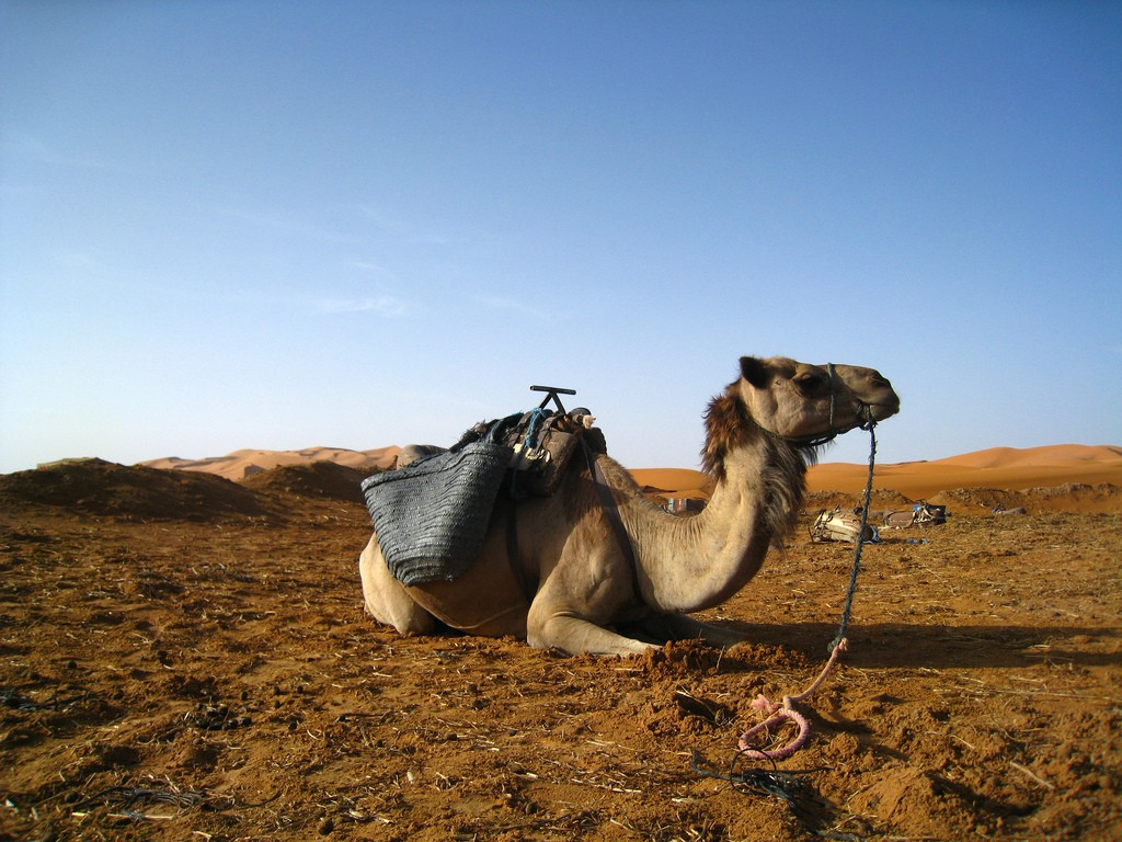 How Camels Are Integrated in Moroccan Labour