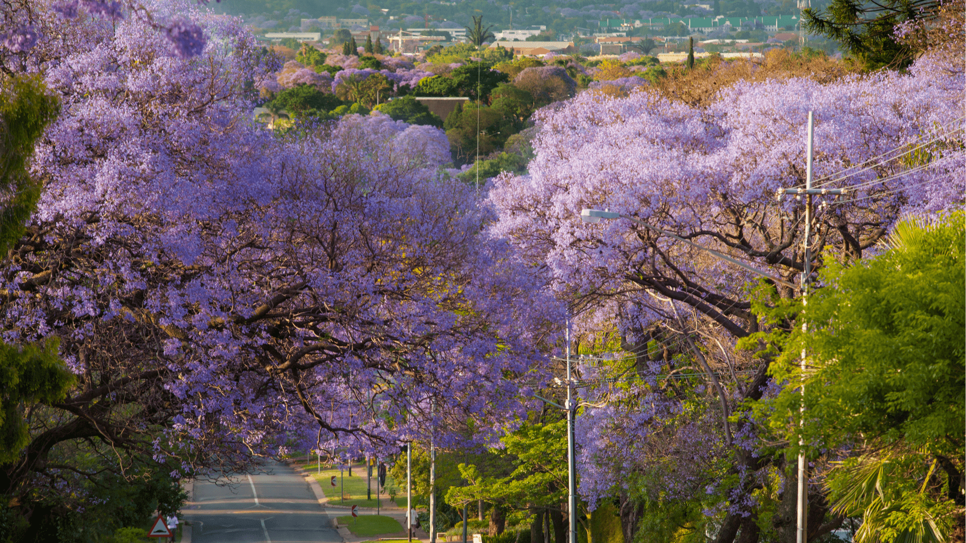 What to know about south africas majestic jacaranda trees izmirmasajfo