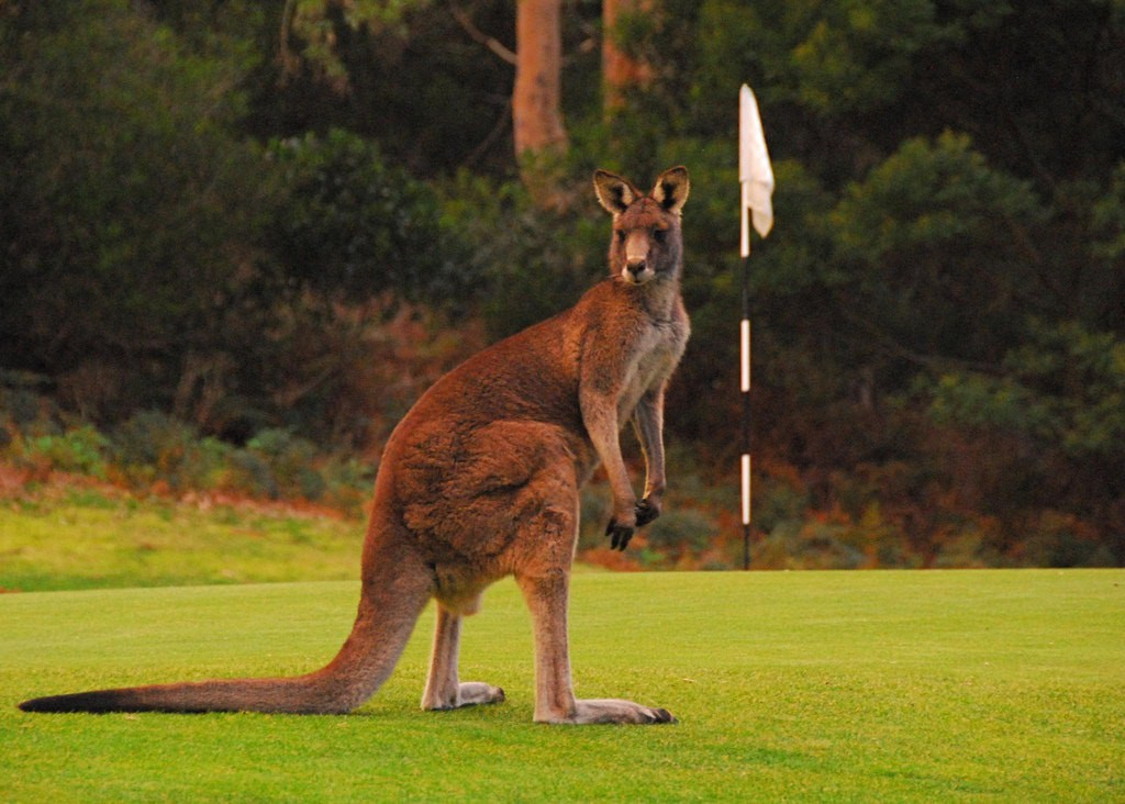 kangaroo feeding Victoria